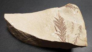 Beydağları'nda 65 milyon yıllık bitki fosili bulundu