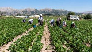 Fasulye tarlasında işçilerin zorlu mesaisi