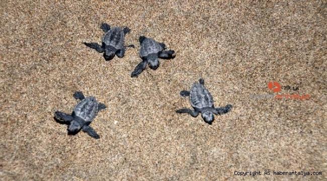 Patara Plajı'nda binlerce kaplumbağa denizle buluştu