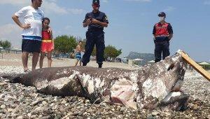 Sahile köpek balığı ölüsü vurdu. Fotoğraf çektirme yarışı başladı !
