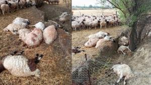 Yıldırım düştü sürüdeki 40 koyun öldü, 10'u yaralandı !