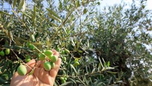 Akdeniz'de zeytinin 'yok yılı'