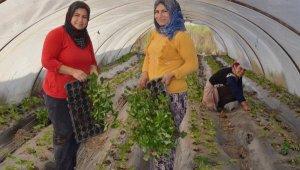 Serik'te çilek ekimi başladı