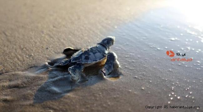 550 bin yavru kaplumbağa denizle buluştu