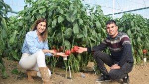 Antalya'da ürettikleri Kaliforniya biberini dünyaya ihraç ediyor