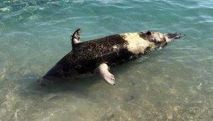 Sahilde ölü fok bulundu