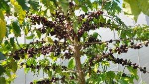 87 yıl sonra kahve üretimine geçiliyor