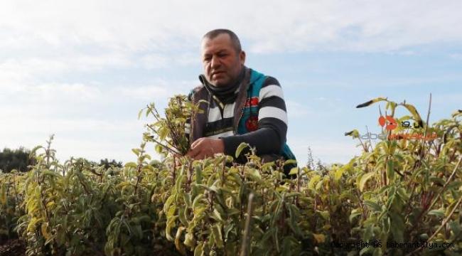 Bağışıklık sistemini güçlendirmede ada çayının etkisi
