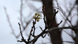 Erik ağacı Ocak ortasında çiçek açtı