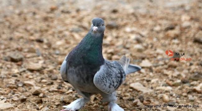 'Joe', dünyadaki tek Türk taklacı güvercini