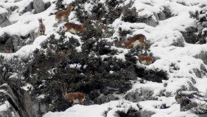 Karla kaplı Toroslarda, dağ keçileri görüntülendi