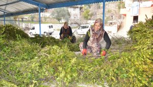 Köylünün yeni geçim kaynağı bu bitki. Bakın fiyatı ne kadar?