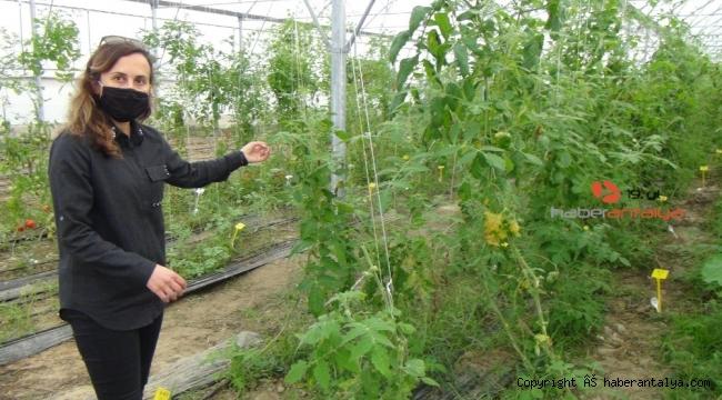 Seralarda tarımın geliştirilmesi için ıslah çalışmaları