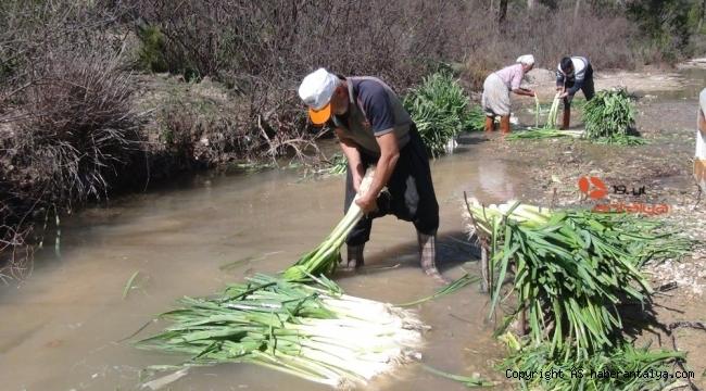 Türkiye'nin kışlık sebze üretim merkezlerinden Antalya'da hasat devam ediyor