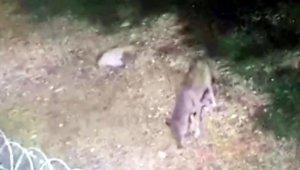 Demre'de 3 kurt görüntülendi
