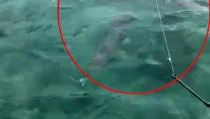 Lara sahilinde zehirli balon balığı sürüsü görüntülendi