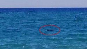 Manavgat sahilinde nesli tükenmekte olan tür görüldü