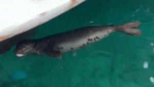Barınağa giren yavru Akdeniz fokunu balıkla beslediler