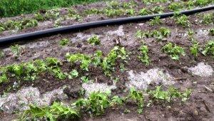 Dolu tarım arazilerine zarar verdi