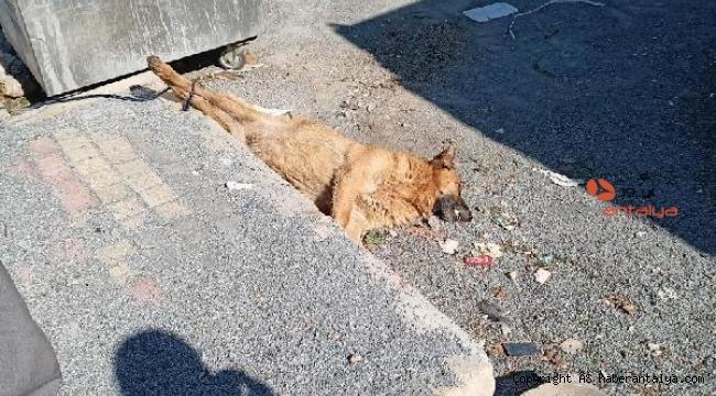 Vahşet ! Köpek ayakları bağlı şekilde ölü bulundu