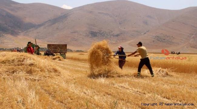 Elmalı'da ata tohumu hasadı yapıldı