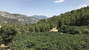 800 rakımlı köyde taze incir hasadı başladı