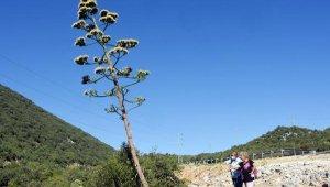 Agave ağacı çiçek açtı, ölümünü bekliyor