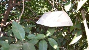 Akdeniz meyve sineğinin vurduğu portakallar denetim altında