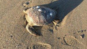 Caretta caretta ölüleri sahile vurdu !