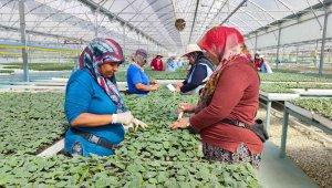 Fide üretimi 5 bin kadına ekmek kapısı oluyor