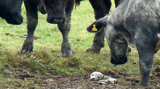 30 inek aynı yere bakınca gerçek ortaya çıktı