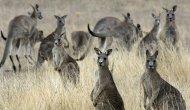 'Kanguru yiyin'