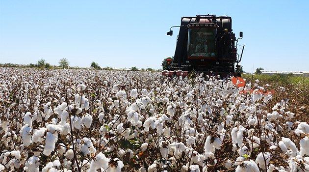 Antalya'da 'beyaz altın'da hasat başladı