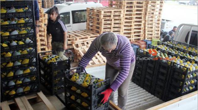 Gazipaşa'dan avokado ihracatı başladı