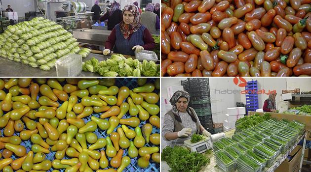 Minyatür sebzeler ihraç ediliyor