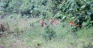 Doğada bir ilk! İşte Etiyopya Aslanı