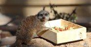 Afrika'ya özgü mirketler, Antalya'daki hayvanat bahçesine getirildi