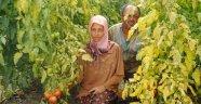Antalya'da skandal iddia: Seradaki domatesler...