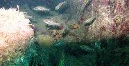 Antalya'nın yeni Kızıldenizlisi; Kardinal balığı