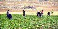 Pamuk çapasında işçi yevmiyesi