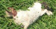 Sahibinin saldırttığı pitbull, 3 kediyi parçaladı