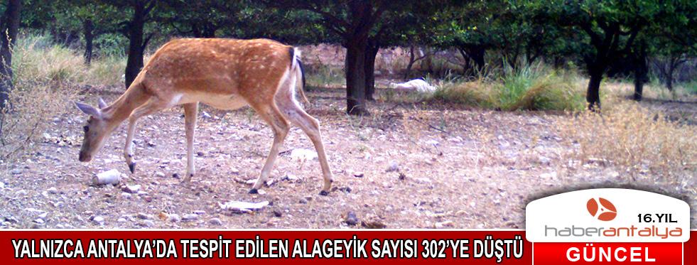 Ana vatanı Türkiye olan alageyik sayısı 302'ye düştü
