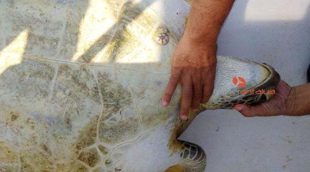 Yaralı yeşil deniz kaplumbağasını kurtarma operasyonu