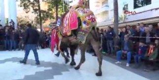 antalya kumluca da süslü deve yarışması